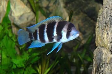 frontosa fish in aquarium