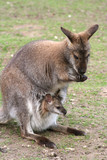 känguru-mama mit kind 2 poster