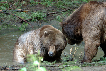 grizzly couple