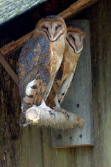 barn owls couple