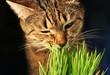 roleta: cat eathing grass