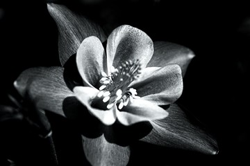 Colorado Columbine Flower In Black And White