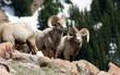 cool bighorn rams