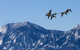 canada geese over boulder, co poster