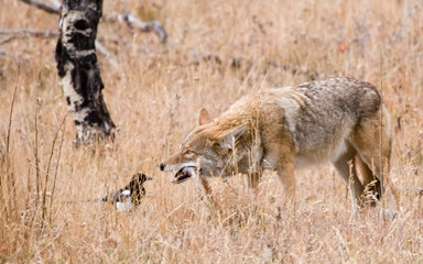 coyote breakfast