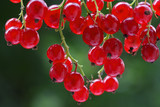 fresh red currant on a bush poster