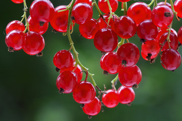 fresh red currant on a bush