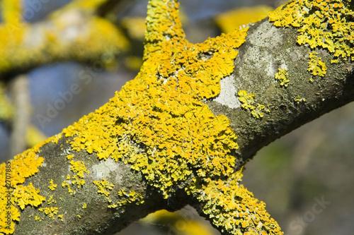 mousse jaune