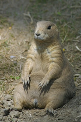 prairie dog exposed