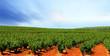 barossa vineyard