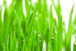 fresh grass with dew drops - 2714282