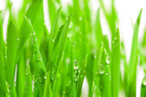 fresh grass with dew drops-