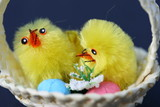 two fluffy chicks in a basket poster