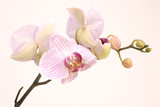 Fototapety pink orchid