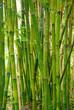 obraz - bamboo stalks