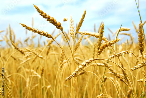 canvas print picture grain field