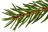spruce tree detail poster
