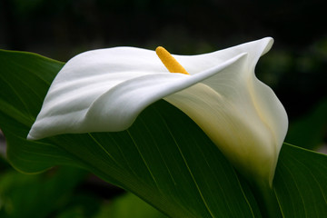 white calla profile