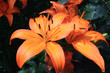 close-up of asiatic lily