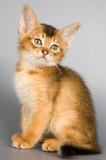 kitten of abyssinian breed poster