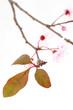 feuilles de prunus