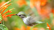 busy hummingbird feeding