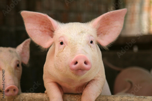 canvas print picture cute pig