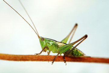 grasshopper on stalk over white background