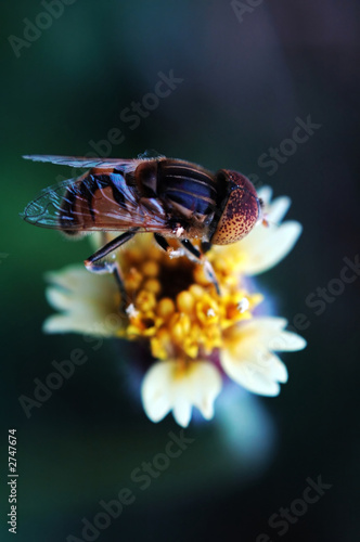 eristalis tenax on tridax procumbens flower