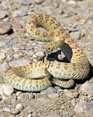 prairie rattlesnake 1