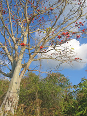 rare indonesian tree with red flowers, labuan bajo, flores, indo