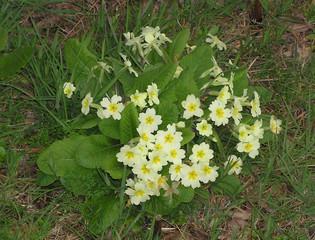 0765 - bouquet de primevères