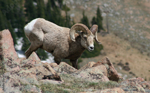 foraging bighorn sheep