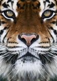 Fototapety a tiger