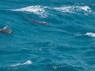 wild dolphins in the blue water of red sea