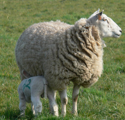 where did i leave that lamb