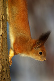 squirrel on the tree stem poster