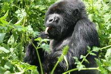 Gorille dans les CELERIS sauvages