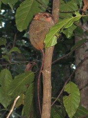tarsier in a jungle tree, manado, tangkoko reserve, sulawesi isl