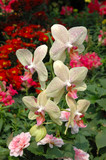 a cluster of yellow-pink orchids poster