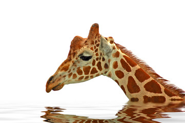 giraffe in water - sadness on white