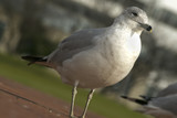 seagull close up