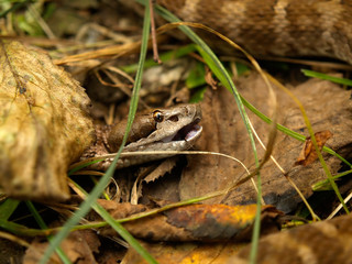 brown viper in the grass