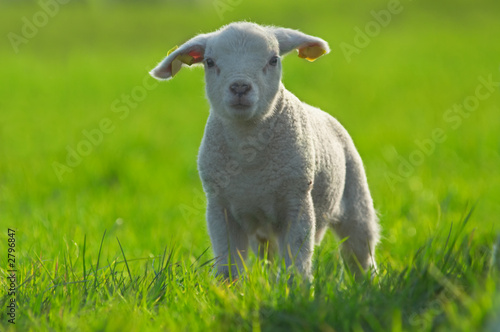 cute lamb on green grass in spring