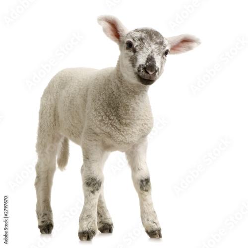 Papiers peints Sheep agneau