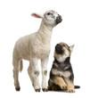 canvas print picture begre allemand et agneau
