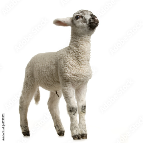 canvas print picture agneau