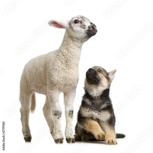 canvas print motiv - Eric Isselée : begre allemand et agneau