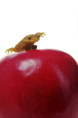 newt on apple, study