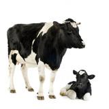 Fototapety vache et son veau
